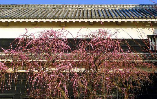 高知城の梅